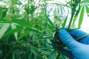 Czym są konopie Cannabis Sativa L. ?